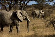 African Gray Posters - Two African Elephants Walk Poster by Ralph Lee Hopkins
