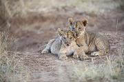 Wrestle Prints - Two African Lion Cubs, Arm In Arm Print by Mark C. Ross