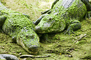 Reptiles Prints - Two Alligators Print by Garry Gay