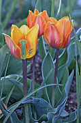 Tulip Bed Framed Prints - Two And A Half Tulips Framed Print by James Steele