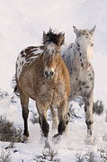 Trotting Art - Two Appaloosas by Carol Walker