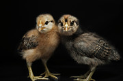 Bird Shot Framed Prints - Two Baby Chicks Framed Print by Monica Fecke