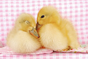 Close To People Framed Prints - Two Baby Ducks Who Like Each Other Framed Print by Dominik Eckelt