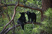 Cubs Prints - Two Bear Cubs Kissing up a Tree Print by Paul W Sharpe Aka Wizard of Wonders