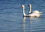 Two Beautiful Swans Print by Sabrina L Ryan