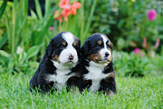 Berner Photos - Two Bernese Mountain Dog portrait by Waldek Dabrowski