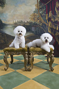 Tiled Framed Prints - Two Bichon Frise Sitting On Stool Side By Side Framed Print by Rosanne Olson