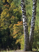 Forest Pyrography Metal Prints - Two Birch Trees in Autumn Forest. Selective Focus Metal Print by Andrey Ushakov
