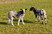 Two Black Spotted Little Lambs On Grass Print by Ruud Morijn