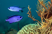 Brain Coral Posters - Two Blue Chromis Swimming Poster by Terry Moore
