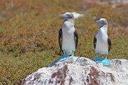 Blue-footed Booby Framed Prints - Two Blue-footed Boobies on a rock Framed Print by Sami Sarkis