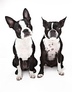 Two By Two Framed Prints - Two Boston Terrier Dogs Sitting Next To Each Othe Framed Print by Evan Kafka