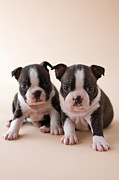 Two By Two Framed Prints - Two Boston Terrier Puppies Framed Print by Mixa