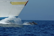 Dolphin Posters - Two bottlenose dolphins swimming in front of a ship Poster by Sami Sarkis