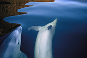 Two By Two Framed Prints - Two Bottlenose Dolphins, Tursiops Framed Print by Annie Griffiths