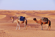 SAHARA Art - Two camels in the Sahara Desert by Sami Sarkis
