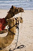 Camel Photos - Two Camels by Nila Newsom