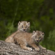 Two Canada Lynx Lynx Canadensis Kittens Print by Richard Wear