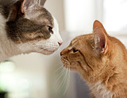 Domestic Animals Posters - Two Cats Almost Kissing Poster by Caro Sheridan / Splityarn