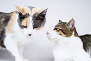 Communication Photos - Two cats on white background by Sami Sarkis