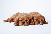 Sleeping Dog Photo Posters - Two Cavalier King Charles Spaniel Puppies Sleeping In Studio Poster by Martin Harvey
