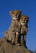 Cheetah Photo Posters - Two Cheetah Cubs Poster by Martin Harvey and Photo Researchers