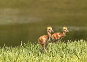 Sandhill Cranes Prints - Two Chicks Print by Carol Groenen