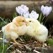 Baby Bird Photos - Two Chicks Kissing by Jorja M. Vornheder