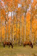 Horse Images Framed Prints - Two Colorado High Country Autumn Horses. Framed Print by James Bo Insogna
