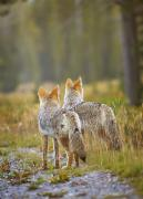 American Jackal Framed Prints - Two Coyotes Canis Latrans Canmore Framed Print by Richard Wear