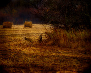 Little Dogs Photos - Two Coyotes by Thomas Young