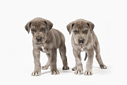 Two By Two Framed Prints - Two Curious Pedigree Great Dane Puppies Framed Print by Andrew Bret Wallis