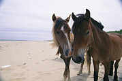 Two Curious Wild Horses On The Beach Print by Nick Caloyianis
