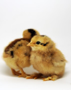 Poultry Posters - Two Cute Chicks Poster by Laura Mountainspring