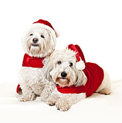 Santa Puppy Posters - Two cute dogs in santa outfits Poster by Elena Elisseeva