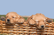 Small Basket Posters - Two Cute Puppies Asleep in Basket Poster by Cindy Singleton