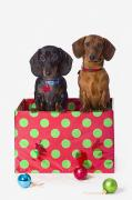 Animals At Christmas Posters - Two Dachshund Puppies Inside A Polka Poster by Corey Hochachka