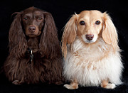 Long Hair Art - Two Dachshunds by Doxieone Photography
