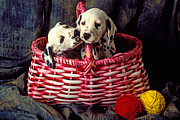 Baskets Photo Framed Prints - Two Dalmatian Puppies Framed Print by Garry Gay