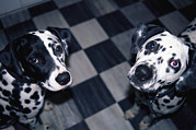 Cute Photographs Posters - Two Dalmatians Look Up From A Black Poster by Nadia M.B. Hughes
