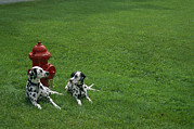 Humorous Photographs Prints - Two Dalmatians Sit On Green Grass Print by Nadia M.B. Hughes