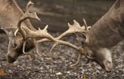 Stags Metal Prints - Two Deer Cervidae Fighting With Antlers Metal Print by John Short