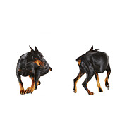 Doberman Pinscher Framed Prints - Two Dobermans Looking At Each Other, Studio Shot Framed Print by Thomas Northcut