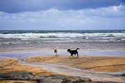 Fanore Photo Framed Prints - Two dogs playing on the beach Framed Print by Kathleen Smith