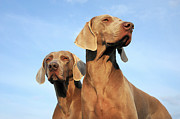 Bonding Metal Prints - Two Dogs, Weimaraner Metal Print by Werner Schnell