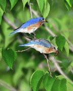 Tending Framed Prints - Two Eastern Bluebirds Framed Print by Betty LaRue