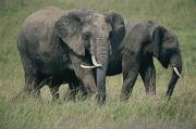 Masai Mara Prints - Two Elephants Loxodonta Africana Print by Michael S. Lewis