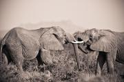 Love The Animal Prints - Two Elephants With Their Trunks Print by David DuChemin