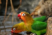 Lovebird Photos - Two Fishers Lovebirds Drinking Water by Roy Toft