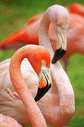 Beak Prints - Two Flamingoes Print by Carlos Caetano